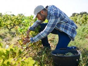grape harvesting iStock 1048075552 WEB