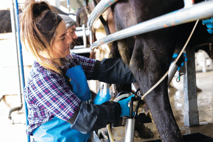 A sharemilker milking a cow in a milking shed