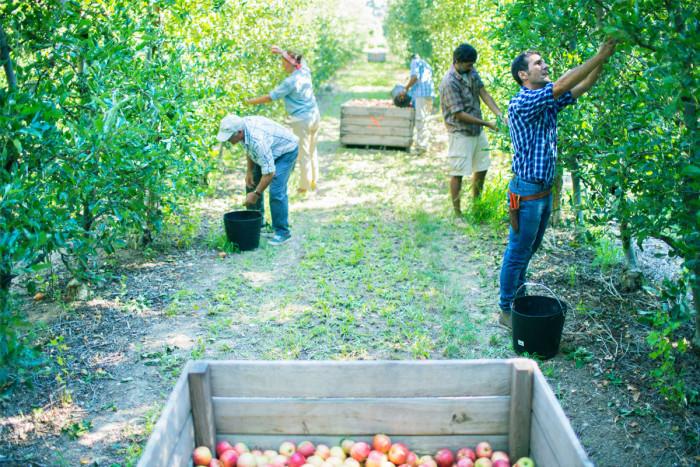 A team of crop workers harvesting apples