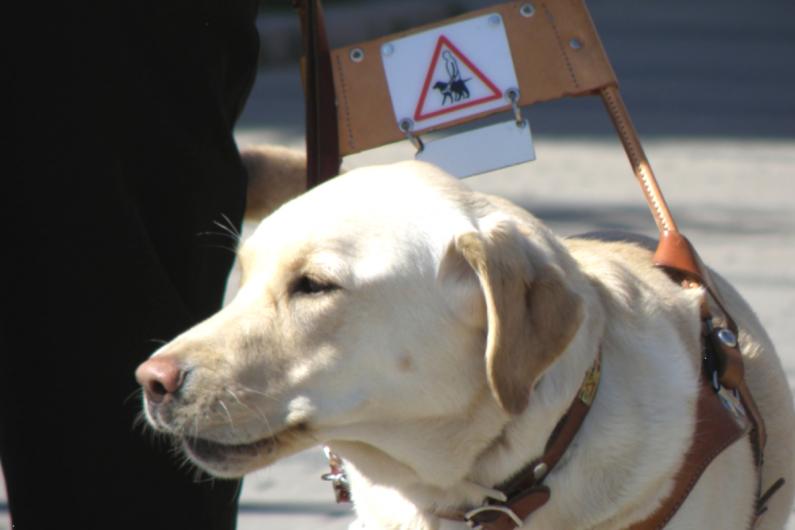 Labrador Eevi working as a guide dog