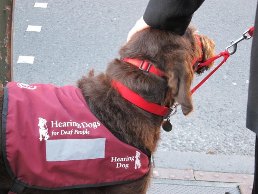 A hearing dog wearing a jacket