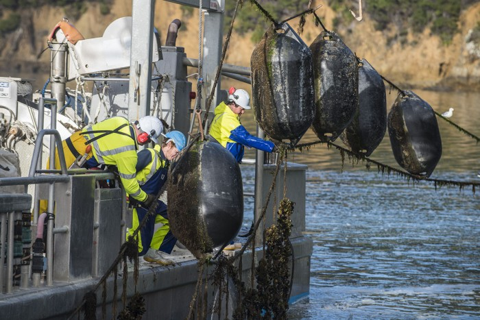 Aquaculture farmers pull up mussel lines from the side of a ship