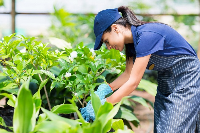 A smiling woman dressed in apron and cap and gloves is trimming gardenia in a garden.