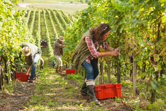 A female vineyard worker picking grapes with her team