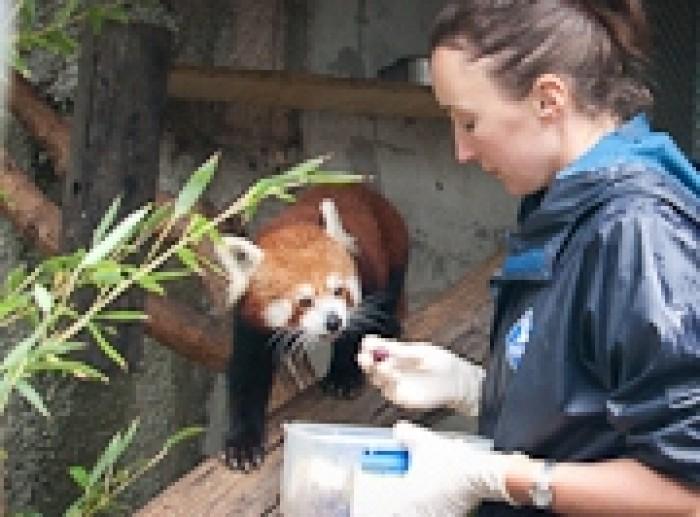 Lauren Booth feeding a red panda