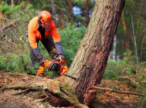 A forestry worker uses a chainsaw to cut a tree down.