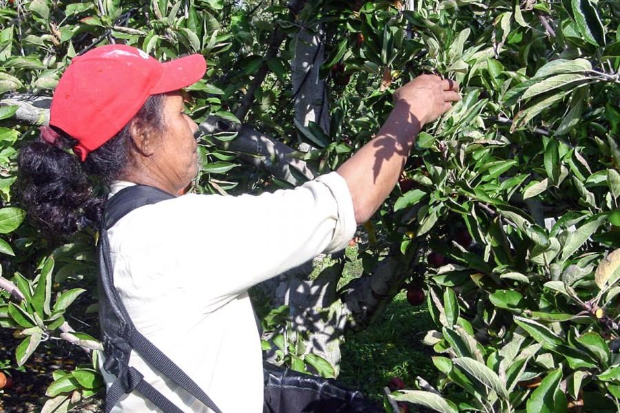A woman picks apples at her seasonal job