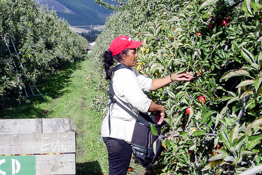 A seasonal worker picking apples